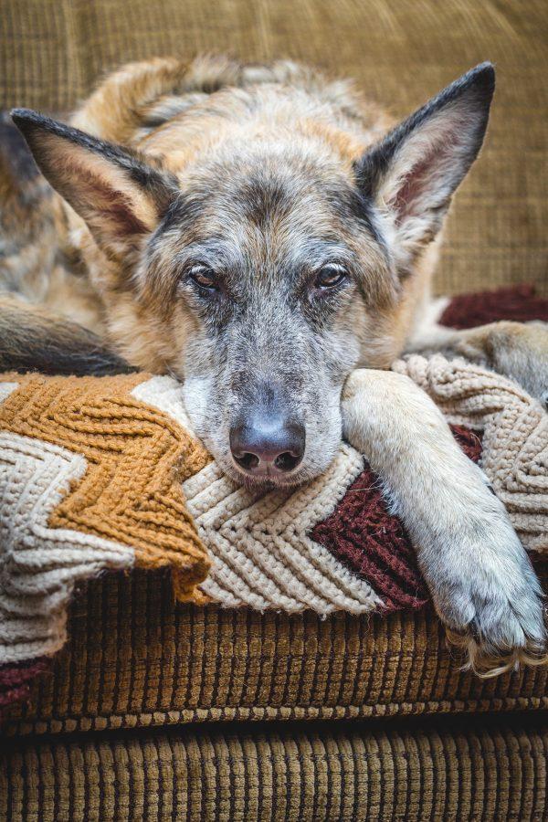 old dog hurt dog