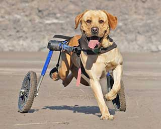 walkin-wheels-dog-wheelchair-fitting